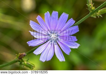 Blue Chicory Plant Flower. Chicory Flower Blue. Cichorium Intybus