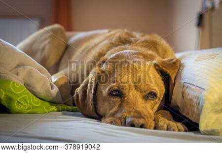 Tired Cute Yellow Fox Red Labrador Retriever Lying In Her Human Bed Resting By Her Pillow.