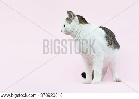 Beautiful Fluffy Spotted Wite And Grey Cat Isolated On A Pink Background. Curious Cat Sitting Full L