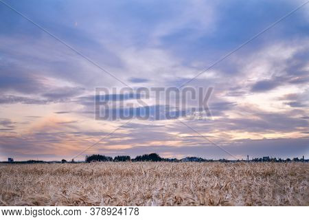 Ripe Ears Of Wheat Oats On A Ripe Meadow Illuminated By The Sun Evening Sky Sunset