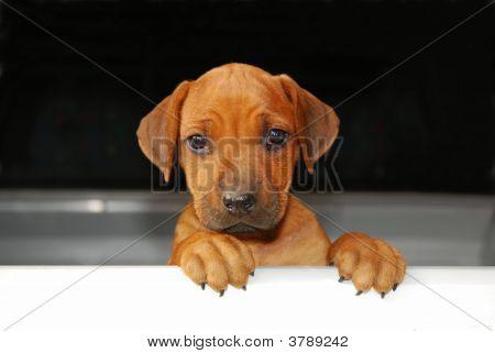 A cute little Rhodesian Ridgeback hound dog puppy looking over a plain white board poster