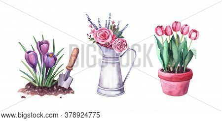 Watercolor Spring Crocus In The Soil And Shovel, Red Tulips In A Pot, Flowers In A Vintage Metal Pit