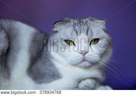 White Cat British Fold-scottish Shorthair Cat On A Blue Background. White Cat British Fold