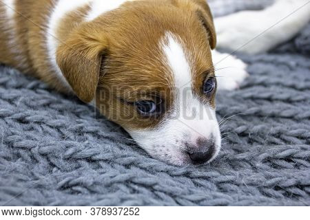 Cute Puppy Male Jack Russell Terrier Lies On A Gray Knitted Bedspread Home Comfort