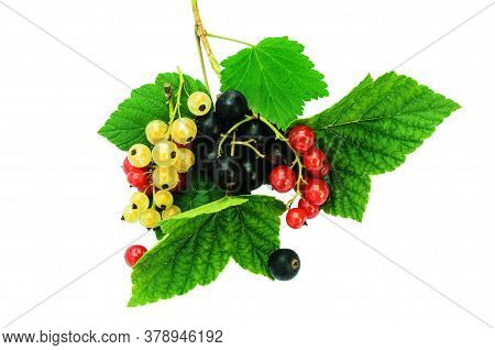 Black, Red And Yellow Currants On Green Leaves. Isolated On A White Background. Assorted Varieties O