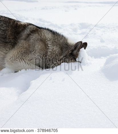 Gray Dog Laika Sniffs A Trail In The Fresh Snow. The Husky Looks For The Smell Of An Animal In The D