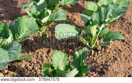 Young Sprouts Of Cabbage. Cabbage Seedlings In The Garden, Top View. Greenhouse Plants, Seedlings In