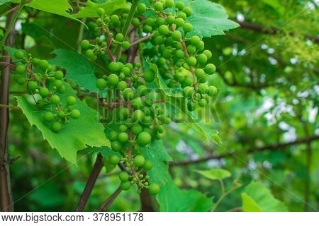 A Detail Of Unripe Grapes Hanging On The Plant. Bold Grapes On A Branch.