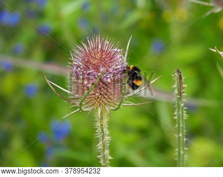 Bumblebee, Bombus, On A Wild Teasel Flower In A Summer Meadow