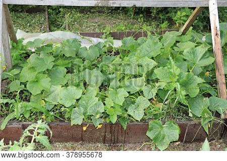 Growing Cucumbers In A Village In Russia In The Middle Lane. They Put Wooden Arches Over The Garden