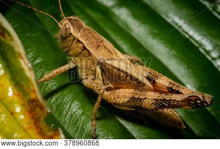 Grasshopper On Leaf From Left Posterior View Macro