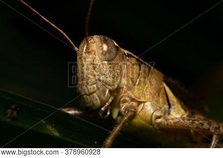 Grasshopper Face Eye And Mouth Closeup Macro