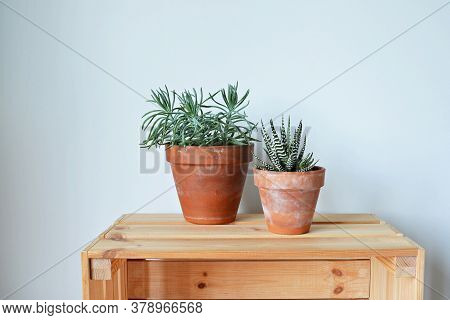 Succulents House Plants Senecio And Haworthia In Terracotta Pots On Wooden Box Over White