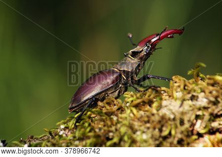 The Stag Beetle (lucanus Cervus) Sitting In The Moss. A Large Beetle Sitting On A Branch With Moss I