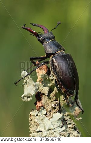 The Stag Beetle (lucanus Cervus) Sitting On The Branch. A Large Beetle Sitting At The End Of A Branc