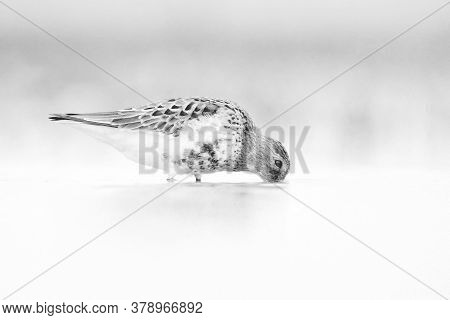 The Dunlin (the Dunlin (calidris Alpina) Catching Worms In The Shallows.dunlin In A Black And White