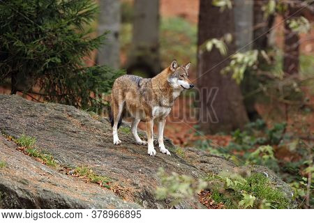 The Grey Wolf Or Gray Wolf (canis Lupus) Standing On A Rock. A Large Gray Wolf Standing On A Rock In
