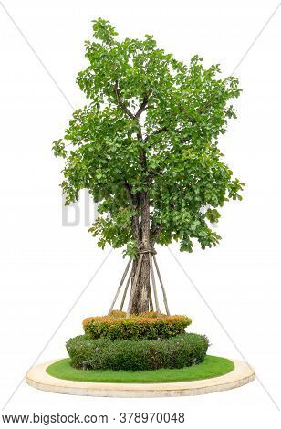 Single Green Tree Isolated,  An Evergreen Leaves Plant With Shrub And Bush Die Cut On White Backgrou