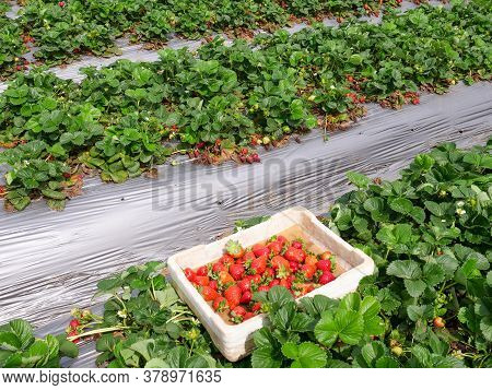 Small Box Of Fresh Picked Strawberries In A Field