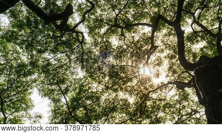 Upward View Image To Greenery Leaves Branches Of Big Rain Tree Plant Sprawling Under Sunshine And Wh