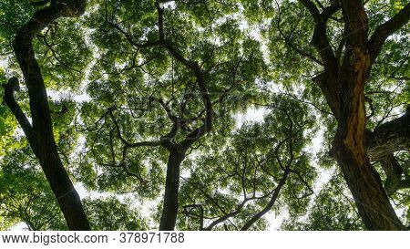 Upward View Image To Greenery Leaves Branches Of Big Rain Tree Plant Sprawling Under White Sky, Conc