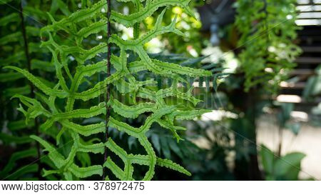 Evergreen Leaf Of Fish Tail Fern, Know As Wart Fern Of Hawii Commonly Called Monarch Fern Or Musk Fe