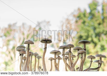 Magic Shroom. Fungi Hallucinogen. Hallucinogenic Psychedelic Drug. Medical Research Of Psilocybin .