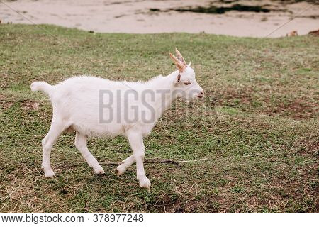 White Young Goat Walks In The Meadow. The Animal Eats Grass. Farm Animal Husbandry. High Quality Pho