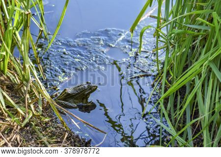 Green Pool Frog Sitting In Blue Water Among Reed Leaves, Close-up. An Amphibian In Its Natural Habit
