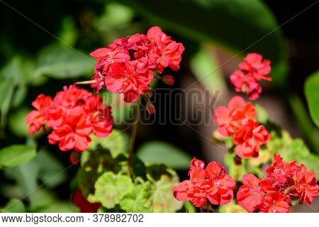 Red Pelargonium Flowers, Commonly Known As Geraniums, Pelargoniums Or Storksbills, And Fresh Green L