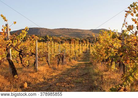 Autumn Sunset In The Vineyards. View Of Rows Of Yellow And Red Vines. Beautiful Mountains In The Bac