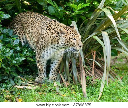 North Chinese Leopard Stalking Through Bush