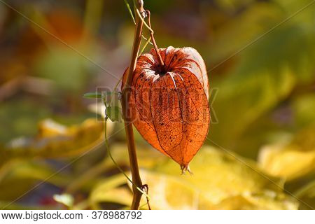 A Sprig Of Orange Physalis In The Blurred Multicolored Background