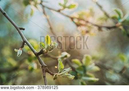 Young Fresh Spring Green Leaf Leaves Growing In Branches Of Garden Bush Plant Tree. Young Leaf In Su