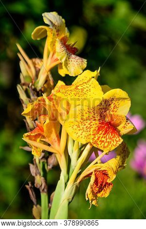 Vivid Yellow And Red Flowers Of Canna Indica, Commonly Known As Indian Shot, African Or Purple Arrow