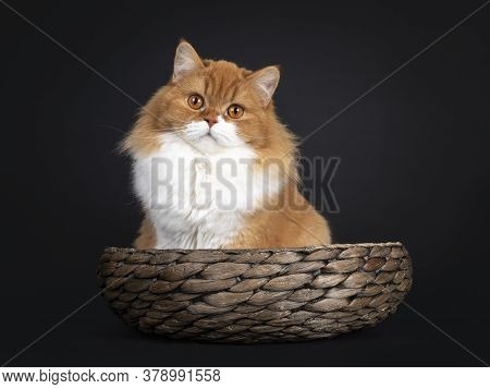 Adorable Red With White British Longhair Cat, Sitting In Brown Bowl. Looking To Camera With Big Oran