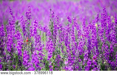 Flowering field with Rocket Larkspur (Consolida ambigua). Purple Larkspur (Consolida orientalis) flowering