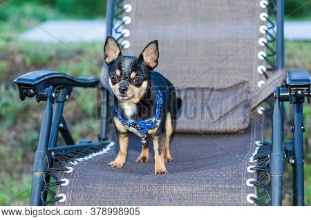 Chihuahua In A Chair. Dog Pet Tri-color Black-brown-white. Dog Is Sitting On A Beige Armchair. Chihu