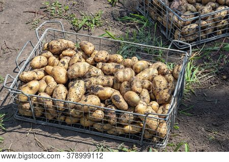 Harvesting Potatoes. Fresh Potatoes Dig From Ground With Spade. Fresh Potato. Potatoes In A Box.
