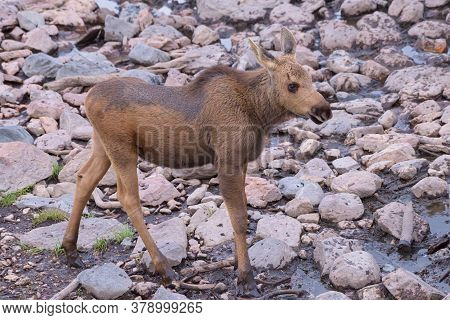 Colorado Moose Living In The Wild. Moose Calf At Watering Hole.
