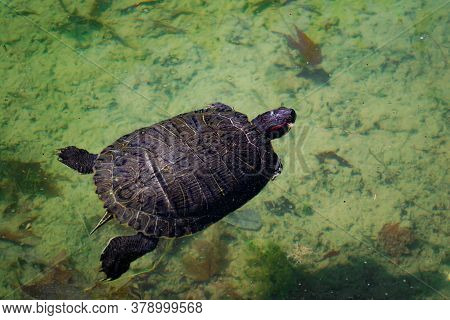 The Pond Slider Water Turtle (trachemys Scripta) Is Swimming In A Pond On A Sunny Day. Horizontal St