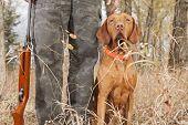 vizsla hunting dog sitting at heel outdoors poster
