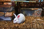 A white rabbit is sitting in captivity poster