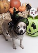 Cute chihuahua dressed in green witch hat for halloween. Surrounded by halloween pumpkins and candy. poster
