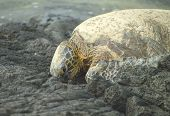 turtle resting on lava rock poster