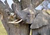 Adult Elephant scratching himself against tree in Serengeti National Park poster