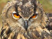 European Eagle Owl at Stonham Barns in Suffolk. poster