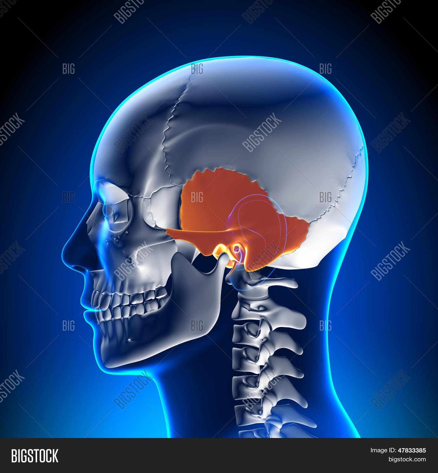 Brain Anatomy Image Photo Free Trial Bigstock