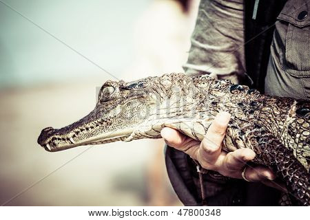 young cayman reptile with beautiful eyes . poster