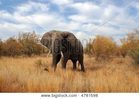Elephant At Kruger Park South Africa